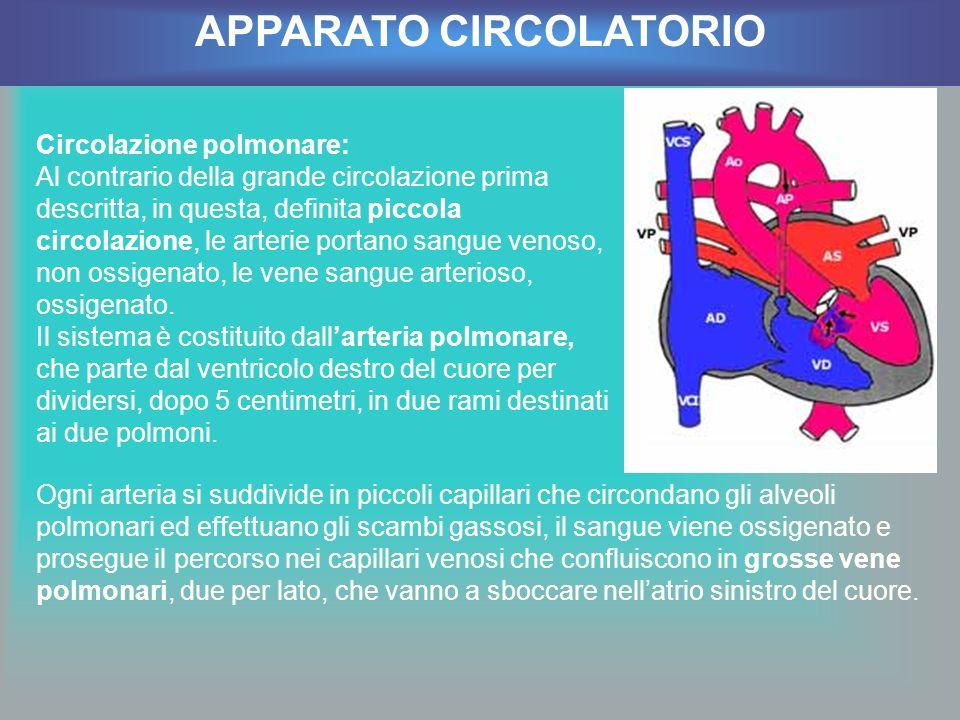 Circolazione polmonare: Al contrario della grande circolazione prima descritta, in questa, definita piccola circolazione, le arterie portano sangue ve