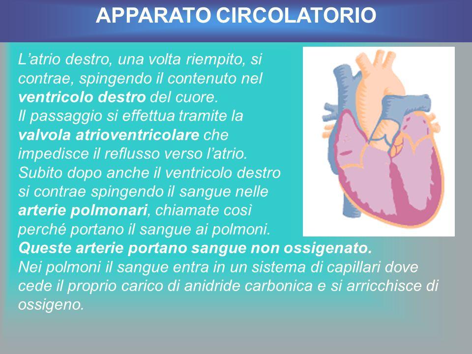Latrio destro, una volta riempito, si contrae, spingendo il contenuto nel ventricolo destro del cuore. Il passaggio si effettua tramite la valvola atr