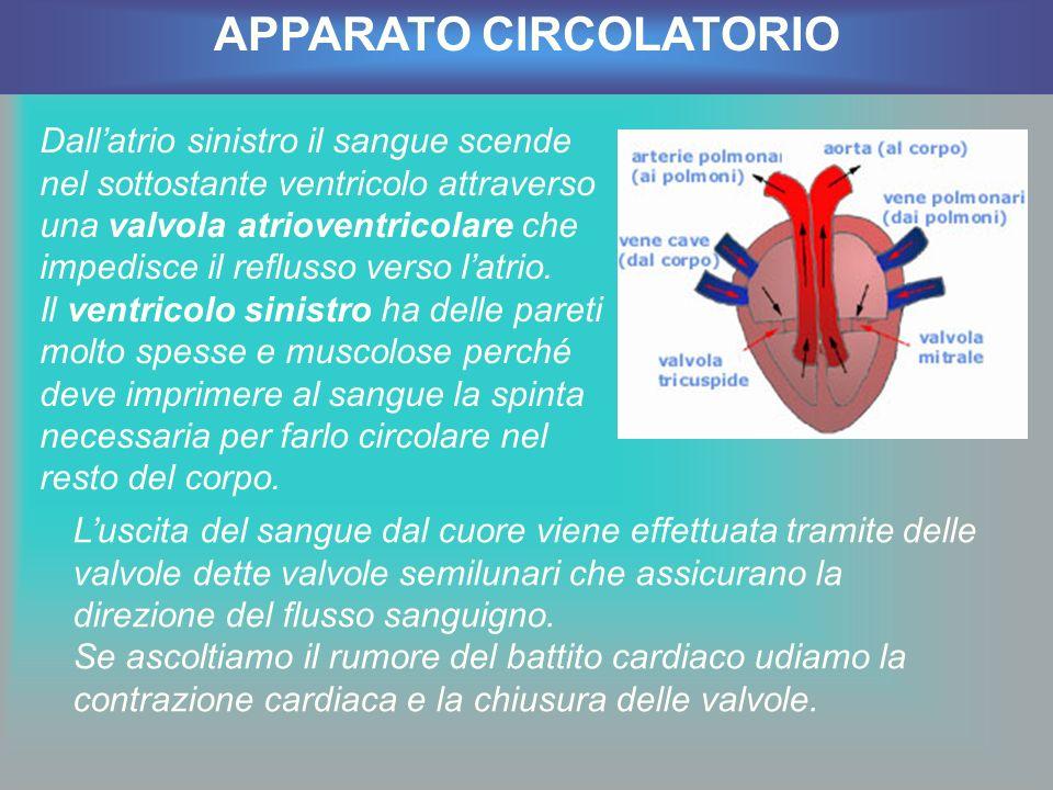 Dallatrio sinistro il sangue scende nel sottostante ventricolo attraverso una valvola atrioventricolare che impedisce il reflusso verso latrio. Il ven