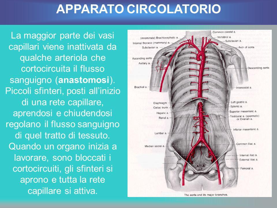 La maggior parte dei vasi capillari viene inattivata da qualche arteriola che cortocircuita il flusso sanguigno (anastomosi). Piccoli sfinteri, posti