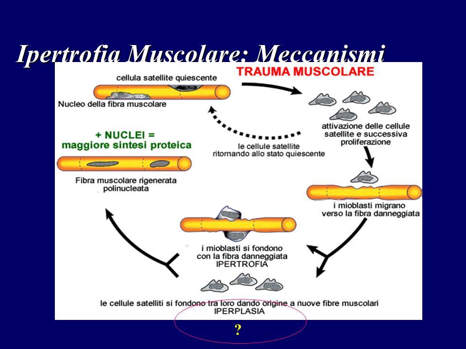 Ipertrofia Muscolare: Meccanismi ?