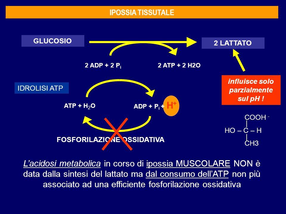 IPOSSIA TISSUTALE GLUCOSIO 2 LATTATO 2 ADP + 2 P i 2 ATP + 2 H2O Lacidosi metabolica in corso di ipossia MUSCOLARE NON è data dalla sintesi del lattato ma dal consumo dellATP non più associato ad una efficiente fosforilazione ossidativa influisce solo parzialmente sul pH .