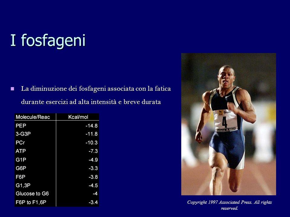 I fosfageni La diminuzione dei fosfageni associata con la fatica durante esercizi ad alta intensità e breve durata La diminuzione dei fosfageni associata con la fatica durante esercizi ad alta intensità e breve durata Copyright 1997 Associated Press.
