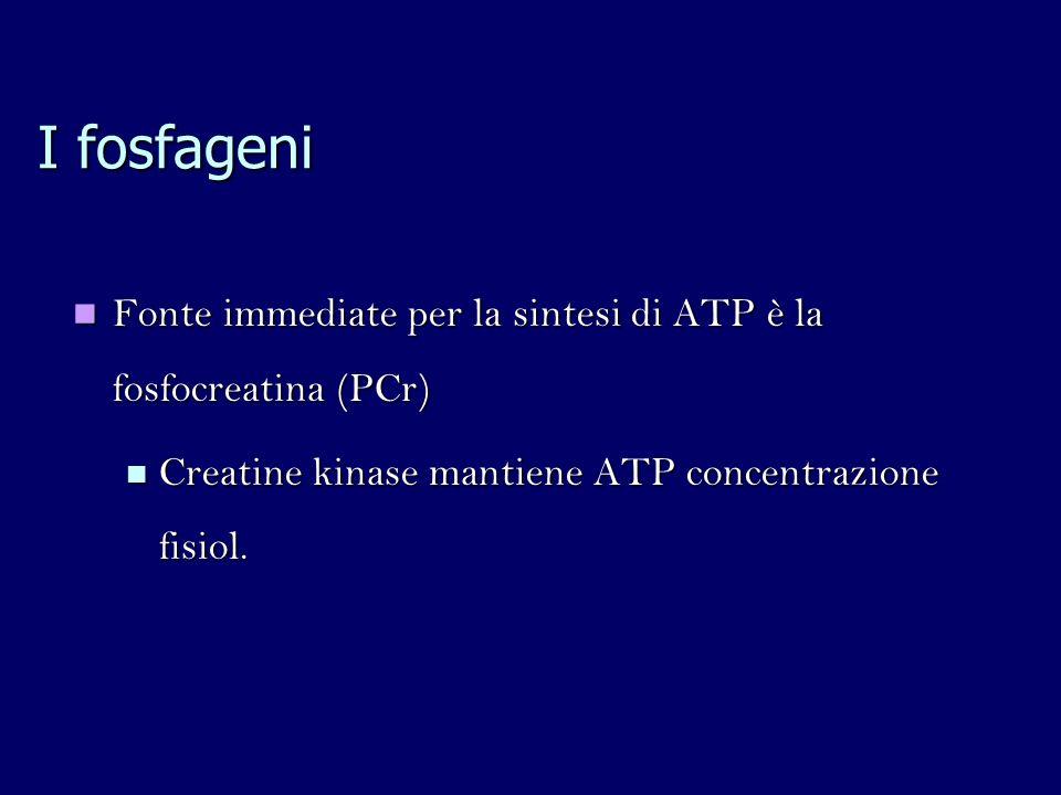 I fosfageni Fonte immediate per la sintesi di ATP è la fosfocreatina (PCr) Fonte immediate per la sintesi di ATP è la fosfocreatina (PCr) Creatine kinase mantiene ATP concentrazione fisiol.