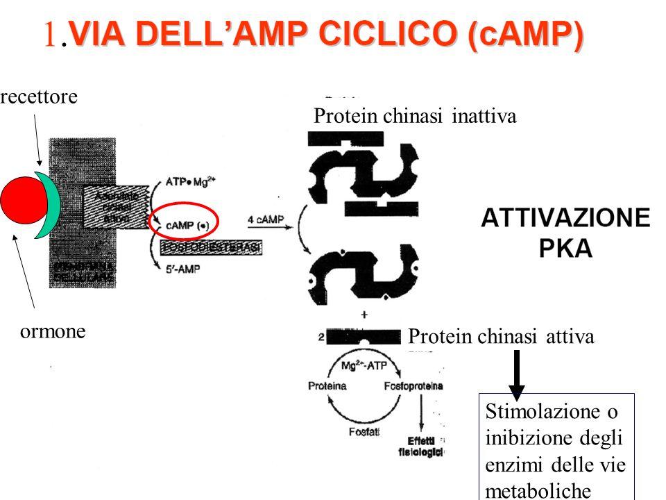 1.1. Protein chinasi inattiva Protein chinasi attiva Stimolazione o inibizione degli enzimi delle vie metaboliche recettore ormone