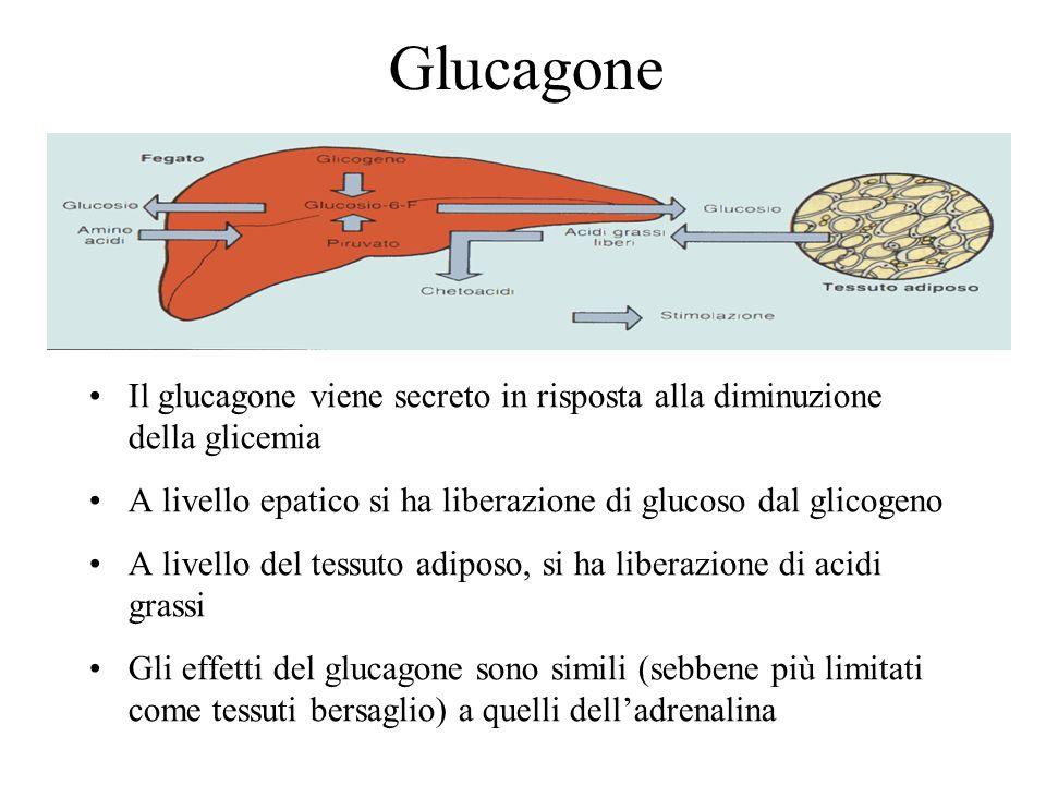 Il glucagone viene secreto in risposta alla diminuzione della glicemia A livello epatico si ha liberazione di glucoso dal glicogeno A livello del tess