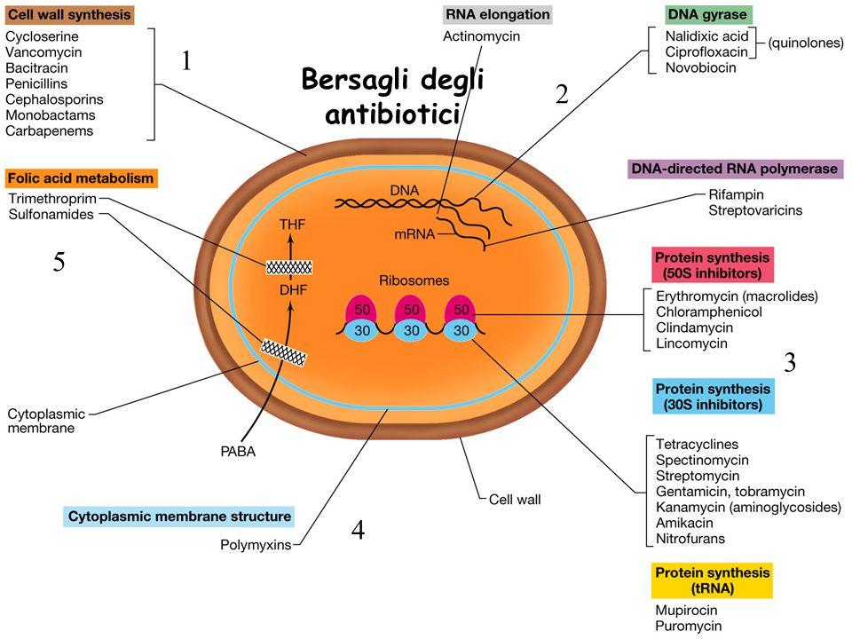 Meccanismo dazione Beta-lattamici: SINTESI PEPTIDOGLICANO Glicopeptidi: Tetracicline: INIBIZIONE DELLA SINTESI PROTEICA Aminoglicosidici: Macrolidi: Fluorochinolonici: INTERFERENZA CON LA FUNZIONE DEGLI ACIDI NUCLEICI Rifampicine: INTERFERENZA CON LA FUNZIONE DEGLI ACIDI NUCLEICI Sulfamidici : ANTIMETABOLITI