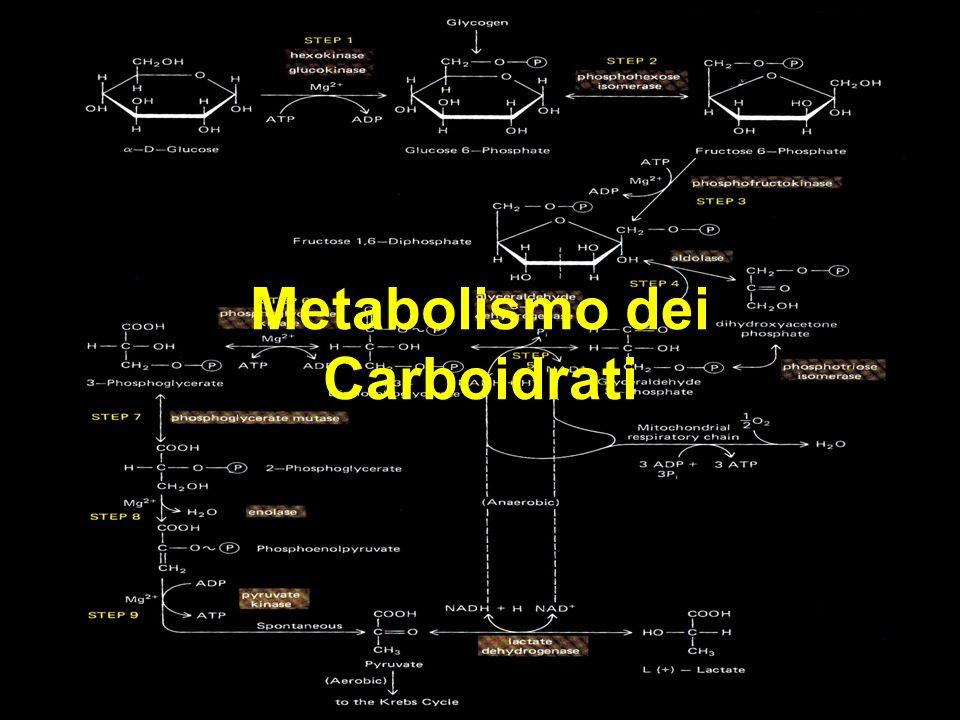 Glicogeno Via dei pentosi fosfati glicolisi Gliconeogenesi (via anabolica) (riserva energetica nel fegato e muscoli) Ossidazione (vie cataboliche)