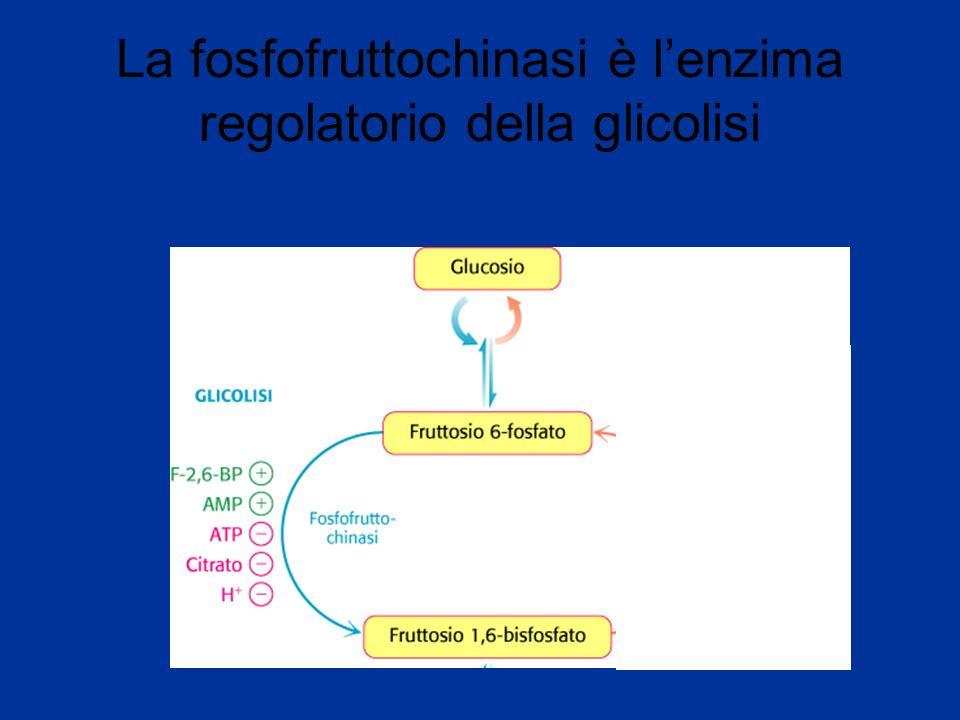 La fosfofruttochinasi è lenzima regolatorio della glicolisi