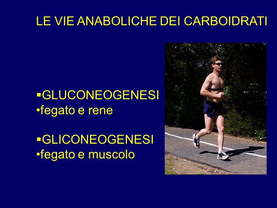 LE VIE ANABOLICHE DEI CARBOIDRATI GLUCONEOGENESI fegato e rene GLICONEOGENESI fegato e muscolo