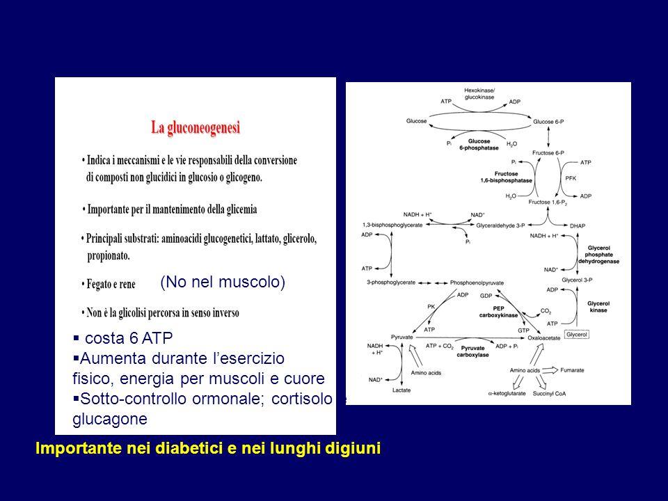 Importante nei diabetici e nei lunghi digiuni costa 6 ATP Aumenta durante lesercizio fisico, energia per muscoli e cuore Sotto-controllo ormonale; cor