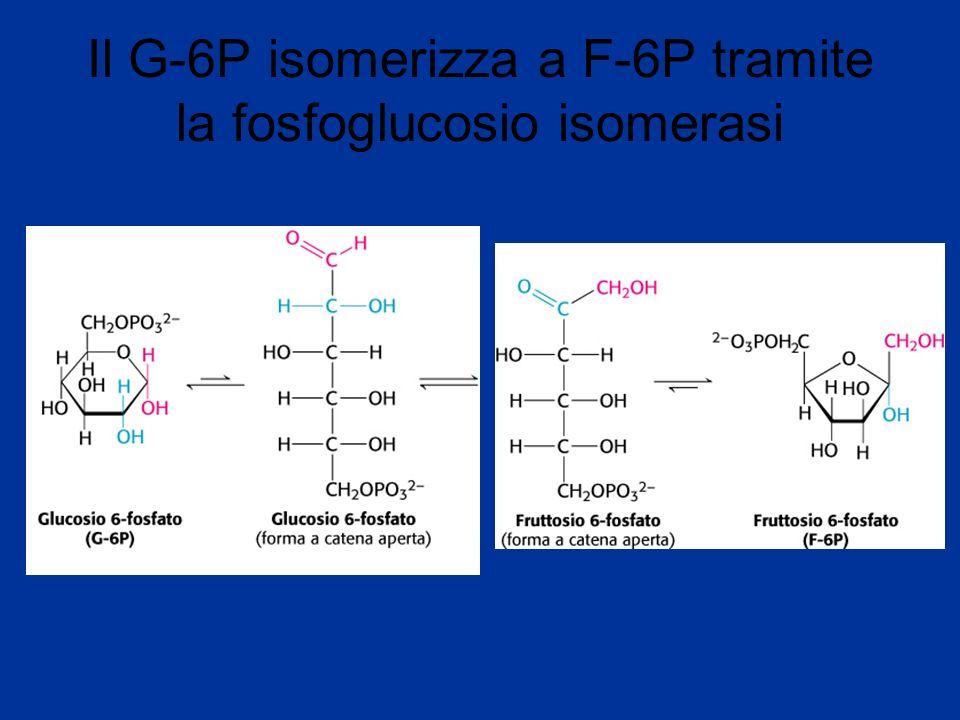 F-6P è fosforilato a F1,6 BP dalla fosfofruttochinasi (3 step)