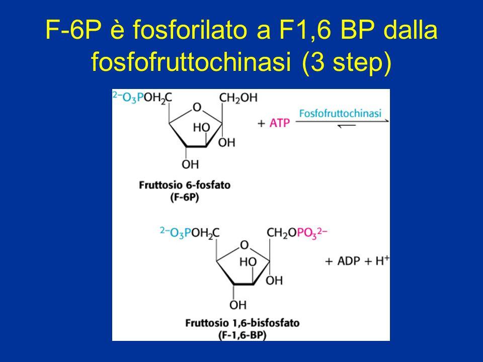 Solo nel fegato lipidi fosfolipidi