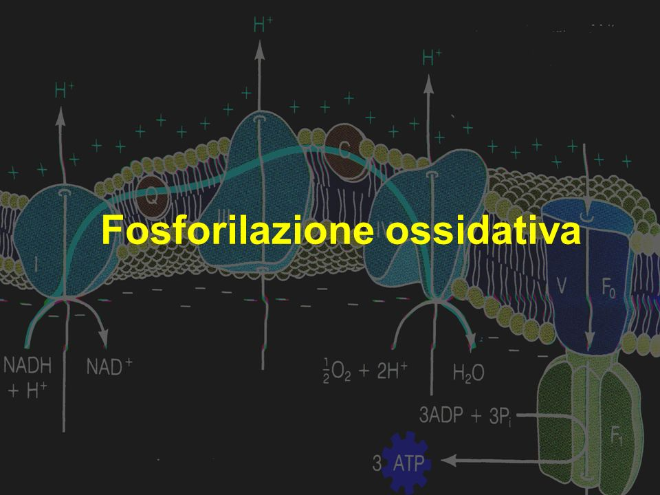 Fosforilazione ossidativa Trasporto di elettroni è connesso alla sintesi di ATP Trasporto di elettroni è connesso alla sintesi di ATP Gli ioni H + presenti nello spazio intermembrana ritornano nella matrice, attraverso il complesso dellATP sintasi (proteina) Gli ioni H + presenti nello spazio intermembrana ritornano nella matrice, attraverso il complesso dellATP sintasi (proteina) Reazione fortemente spontanea G <0 Reazione fortemente spontanea G <0 ADP e Pi formano ATP ADP e Pi formano ATP Ioni H +