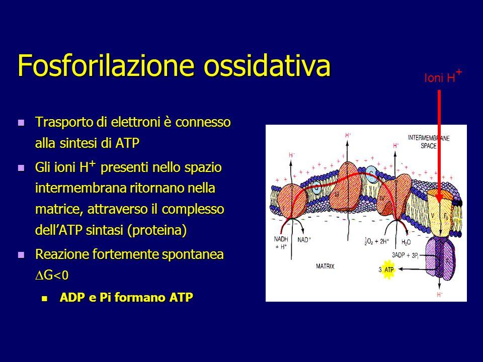 Fosforilazione ossidativa Trasporto di elettroni è connesso alla sintesi di ATP Trasporto di elettroni è connesso alla sintesi di ATP Gli ioni H + pre