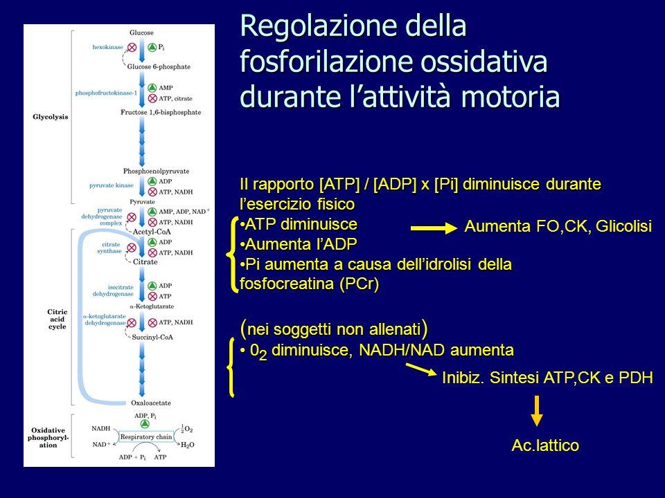 Il rapporto [ATP] / [ADP] x [Pi] diminuisce durante lesercizio fisico ATP diminuisceATP diminuisce Aumenta lADPAumenta lADP Pi aumenta a causa dellidrolisi della fosfocreatina (PCr)Pi aumenta a causa dellidrolisi della fosfocreatina (PCr) ( nei soggetti non allenati ) 0 2 diminuisce, NADH/NAD aumenta 0 2 diminuisce, NADH/NAD aumenta Inibiz.