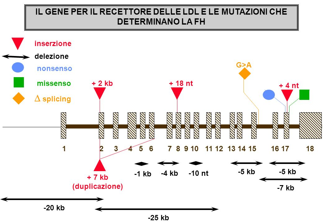 IL GENE PER IL RECETTORE DELLE LDL E LE MUTAZIONI CHE DETERMINANO LA FH + 2 kb + 4 nt -1 kb -4 kb -5 kb -7 kb + 18 nt 1 2 3 4 5 6 7 8 9 10 11 12 13 14