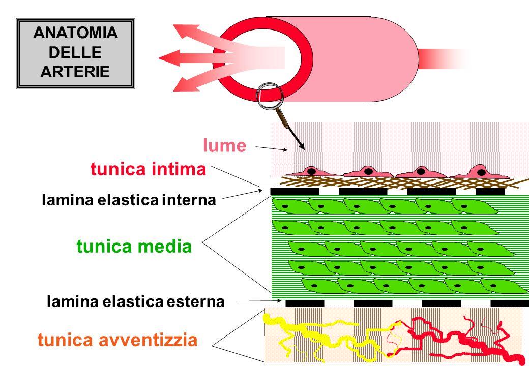 lume ANATOMIA DELLE ARTERIE tunica media tunica intima tunica avventizzia lamina elastica interna lamina elastica esterna
