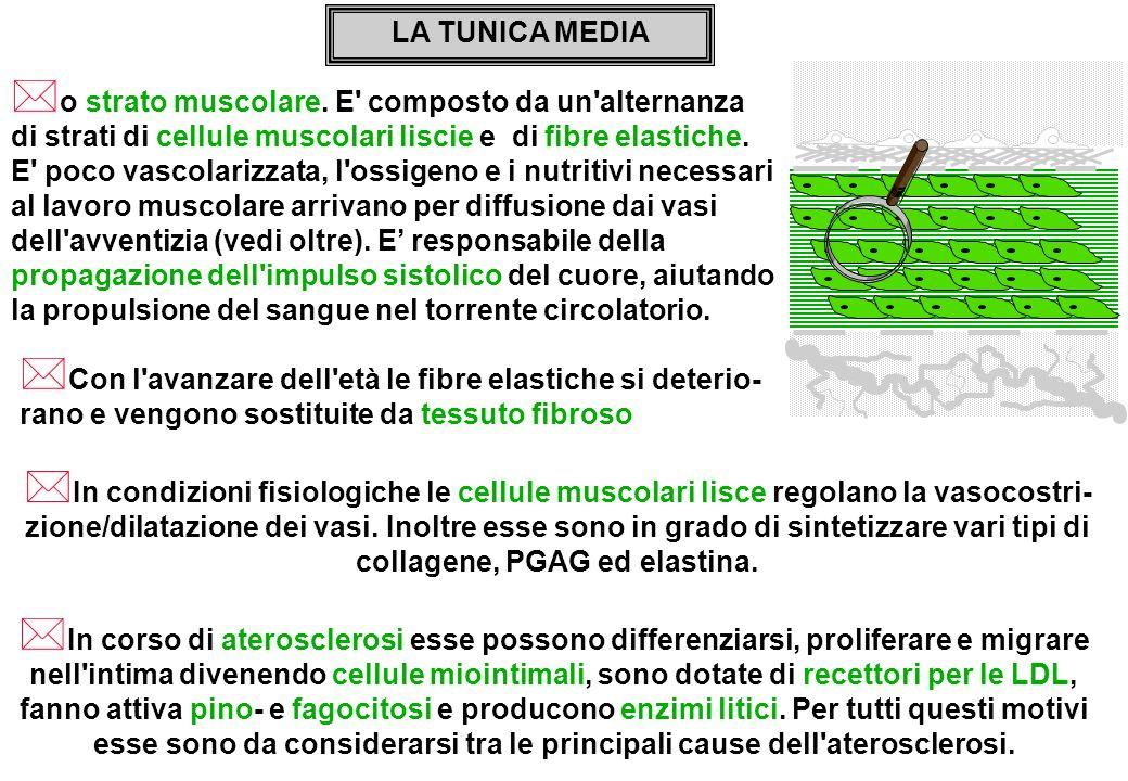 LA TUNICA MEDIA * o strato muscolare. E' composto da un'alternanza di strati di cellule muscolari liscie e di fibre elastiche. E' poco vascolarizzata,