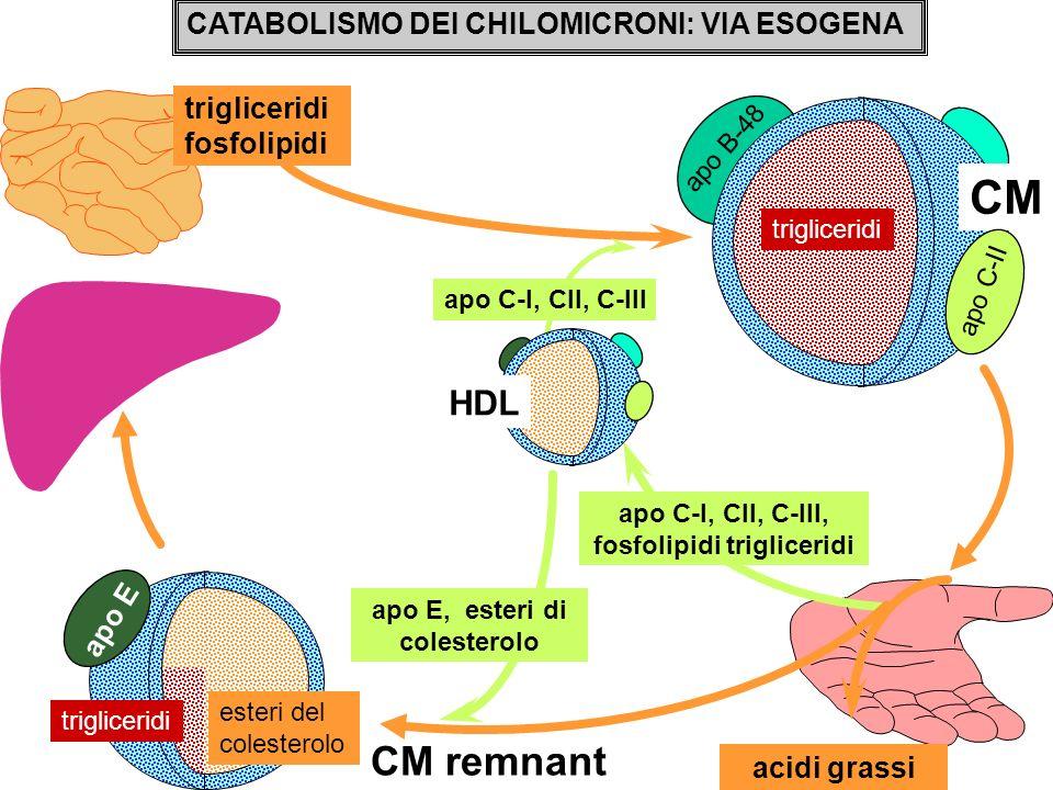 CATABOLISMO DEI CHILOMICRONI: VIA ESOGENA trigliceridi fosfolipidi apo C-I, CII, C-III acidi grassi apo C-I, CII, C-III, fosfolipidi trigliceridi apo
