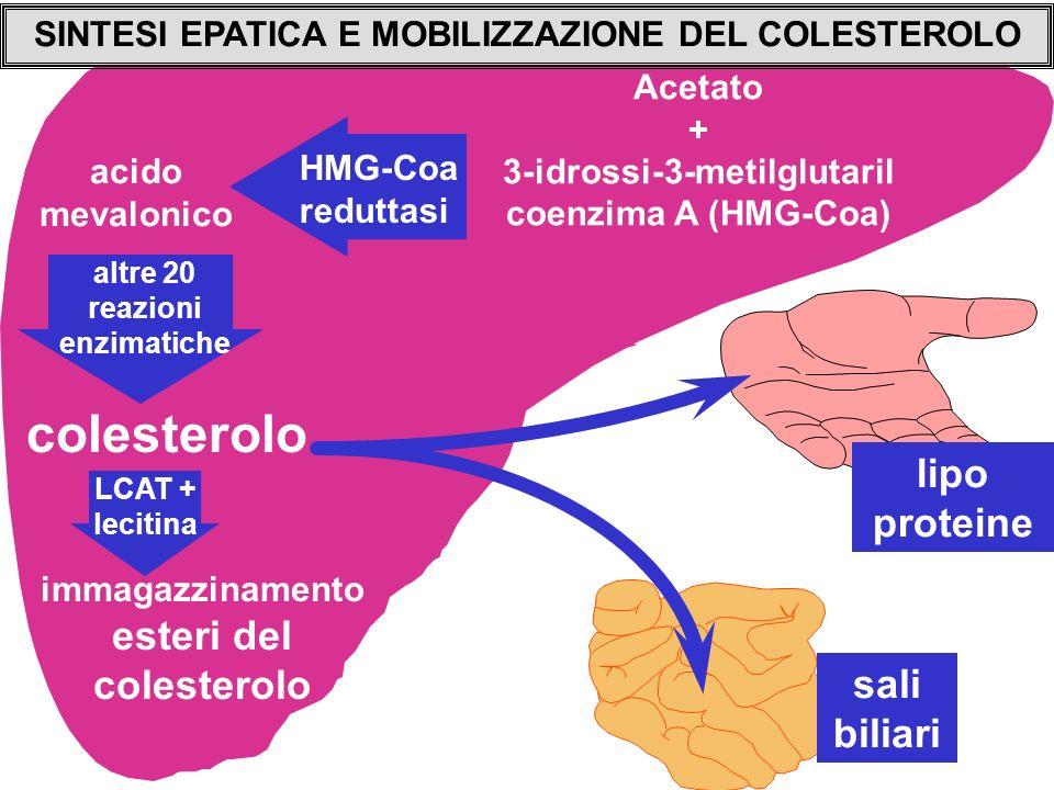 SINTESI EPATICA E MOBILIZZAZIONE DEL COLESTEROLO Acetato + 3-idrossi-3-metilglutaril coenzima A (HMG-Coa) acido mevalonico HMG-Coa reduttasi altre 20