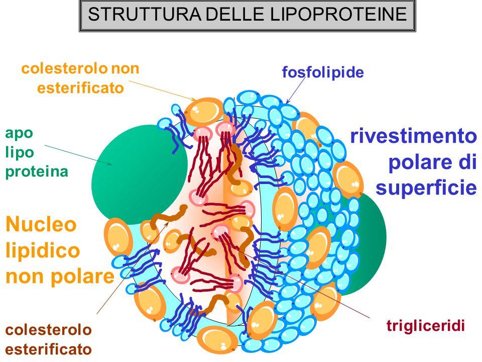 STRUTTURA DELLE LIPOPROTEINE apo lipo proteina fosfolipide colesterolo non esterificato colesterolo esterificato trigliceridi rivestimento polare di s