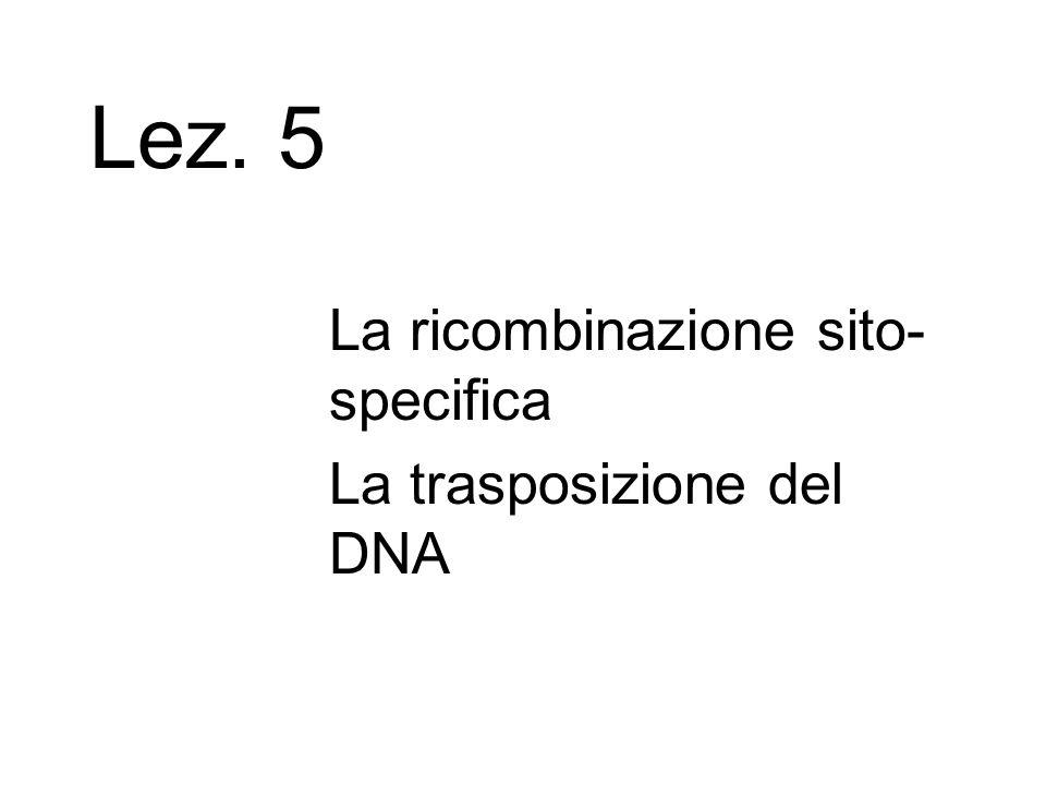 Lez. 5 La ricombinazione sito- specifica La trasposizione del DNA