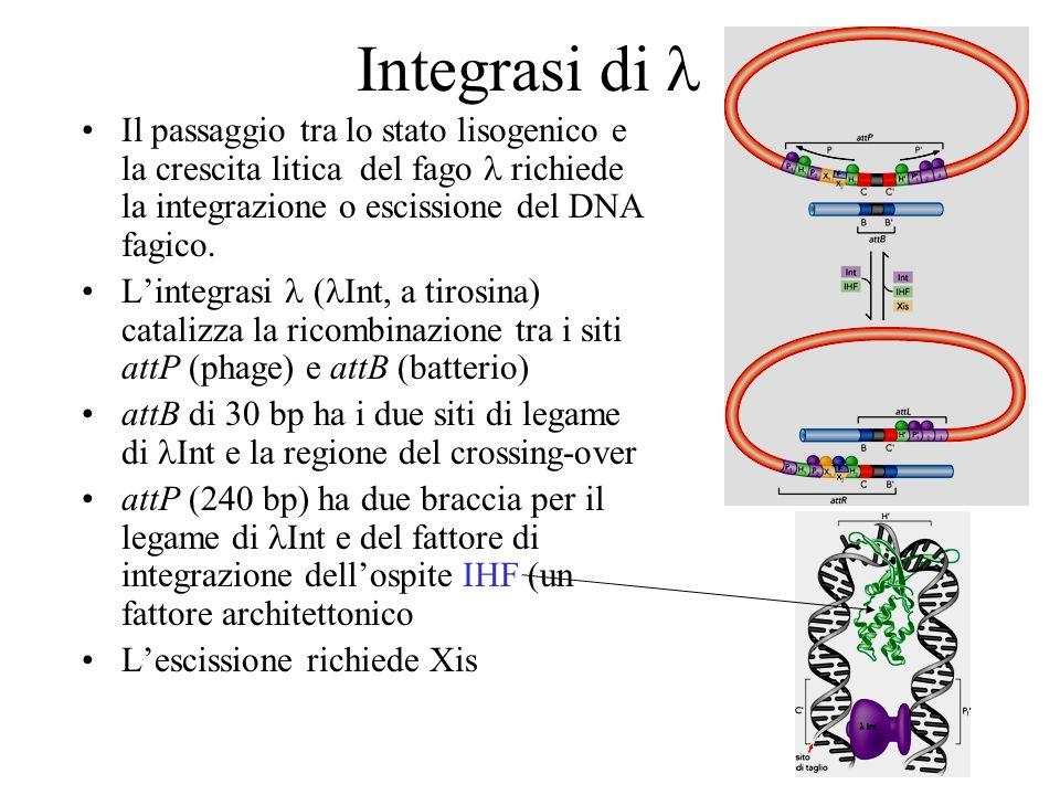Integrasi di Il passaggio tra lo stato lisogenico e la crescita litica del fago richiede la integrazione o escissione del DNA fagico. Lintegrasi ( Int