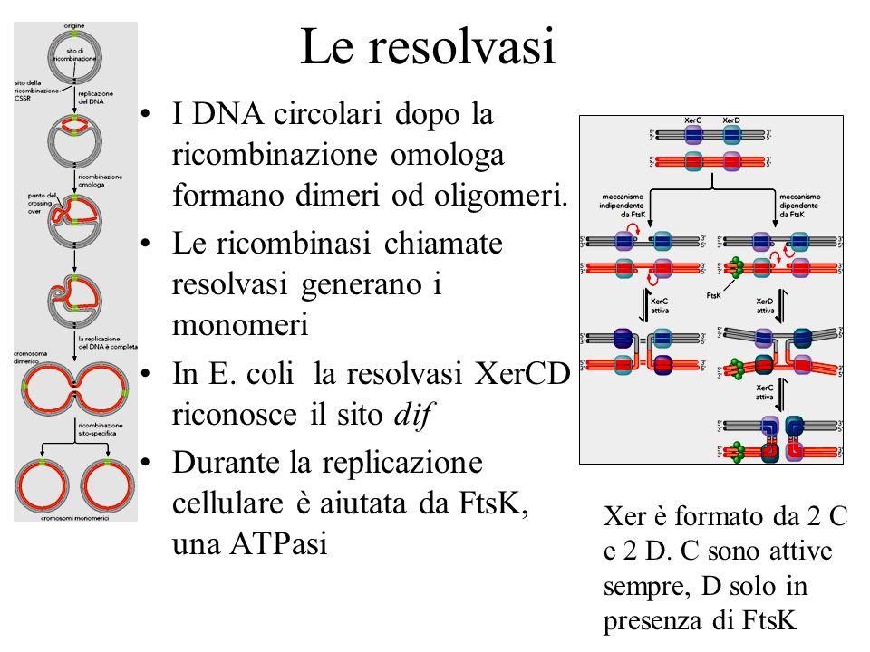 Le resolvasi I DNA circolari dopo la ricombinazione omologa formano dimeri od oligomeri. Le ricombinasi chiamate resolvasi generano i monomeri In E. c