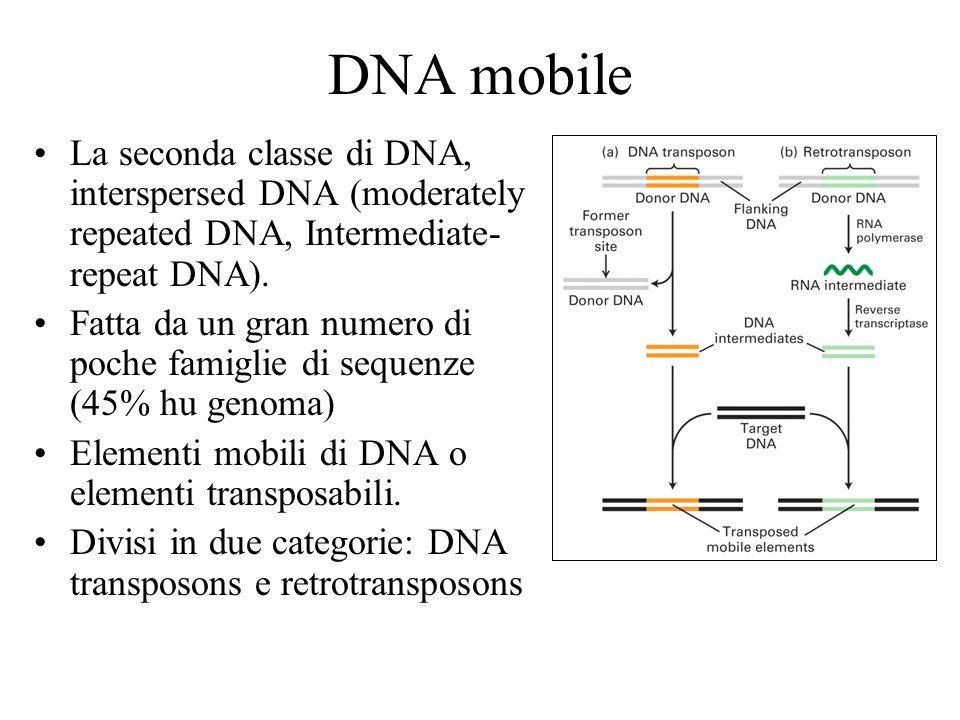 DNA mobile La seconda classe di DNA, interspersed DNA (moderately repeated DNA, Intermediate- repeat DNA). Fatta da un gran numero di poche famiglie d