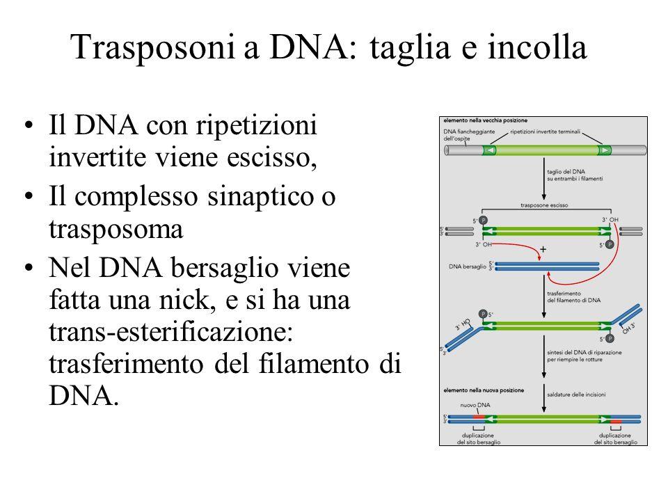 Trasposoni a DNA: taglia e incolla Il DNA con ripetizioni invertite viene escisso, Il complesso sinaptico o trasposoma Nel DNA bersaglio viene fatta u