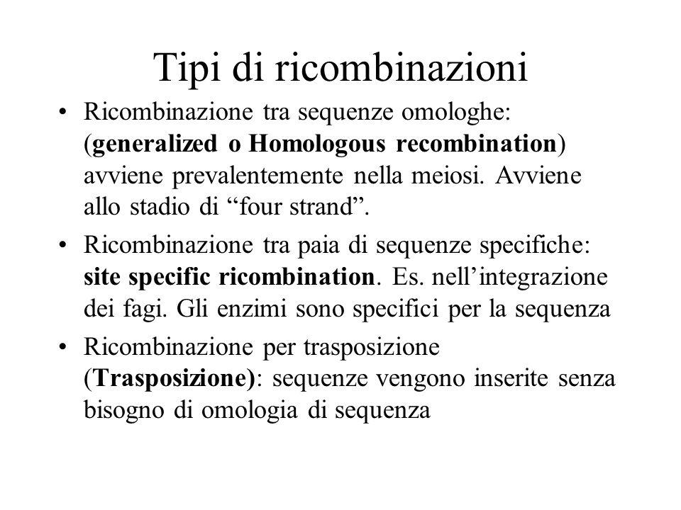 Tipi di ricombinazioni Ricombinazione tra sequenze omologhe: (generalized o Homologous recombination) avviene prevalentemente nella meiosi. Avviene al