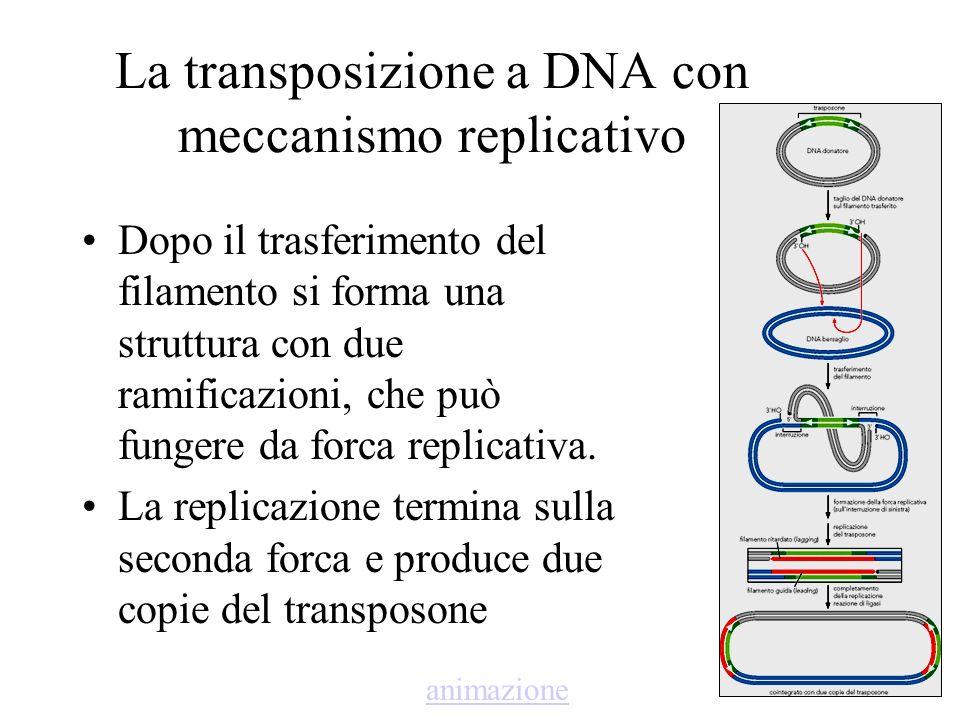 La transposizione a DNA con meccanismo replicativo Dopo il trasferimento del filamento si forma una struttura con due ramificazioni, che può fungere d