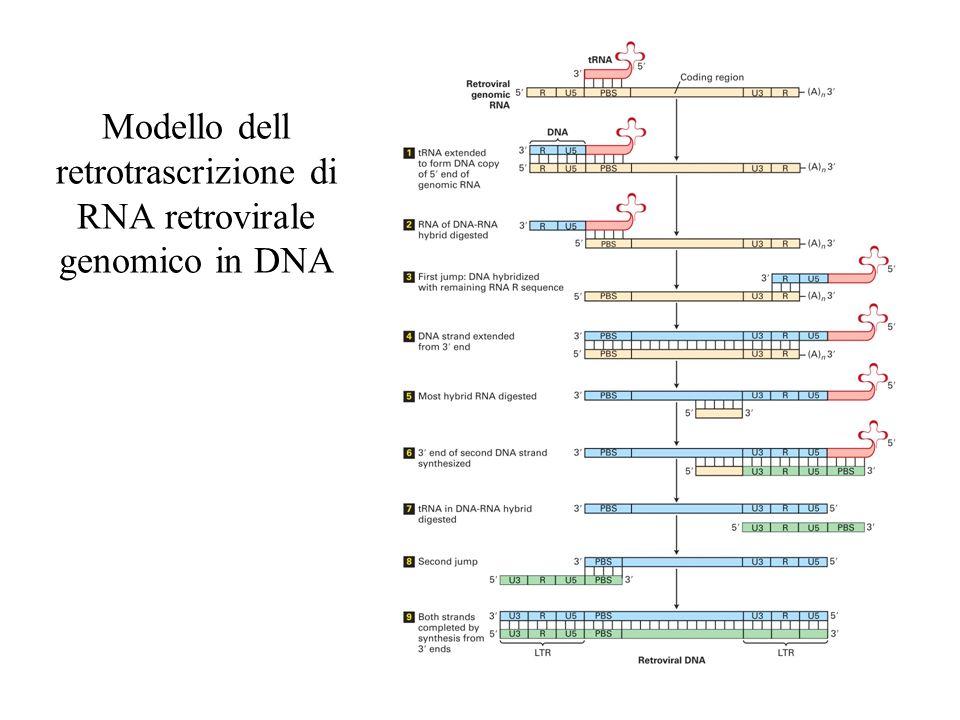 Modello dell retrotrascrizione di RNA retrovirale genomico in DNA