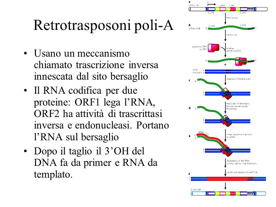 Retrotrasposoni poli-A Usano un meccanismo chiamato trascrizione inversa innescata dal sito bersaglio Il RNA codifica per due proteine: ORF1 lega lRNA