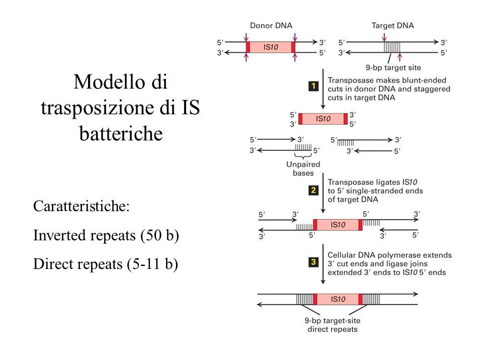 Modello di trasposizione di IS batteriche Caratteristiche: Inverted repeats (50 b) Direct repeats (5-11 b)