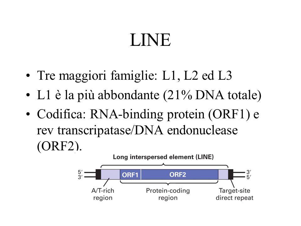 LINE Tre maggiori famiglie: L1, L2 ed L3 L1 è la più abbondante (21% DNA totale) Codifica: RNA-binding protein (ORF1) e rev transcripatase/DNA endonuc
