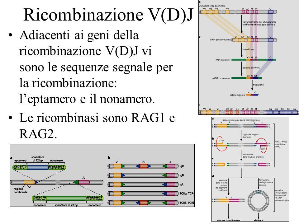 Ricombinazione V(D)J Adiacenti ai geni della ricombinazione V(D)J vi sono le sequenze segnale per la ricombinazione: leptamero e il nonamero. Le ricom