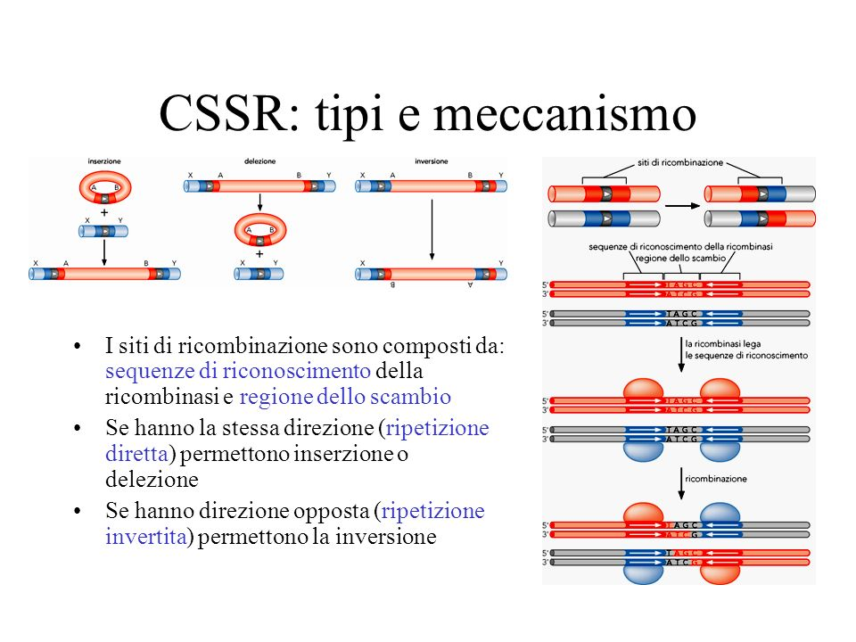 CSSR: tipi e meccanismo I siti di ricombinazione sono composti da: sequenze di riconoscimento della ricombinasi e regione dello scambio Se hanno la st