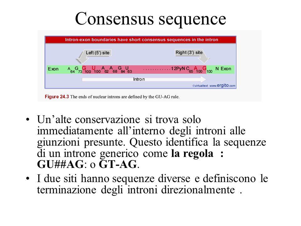 Consensus sequence Unalte conservazione si trova solo immediatamente allinterno degli introni alle giunzioni presunte. Questo identifica la sequenze d