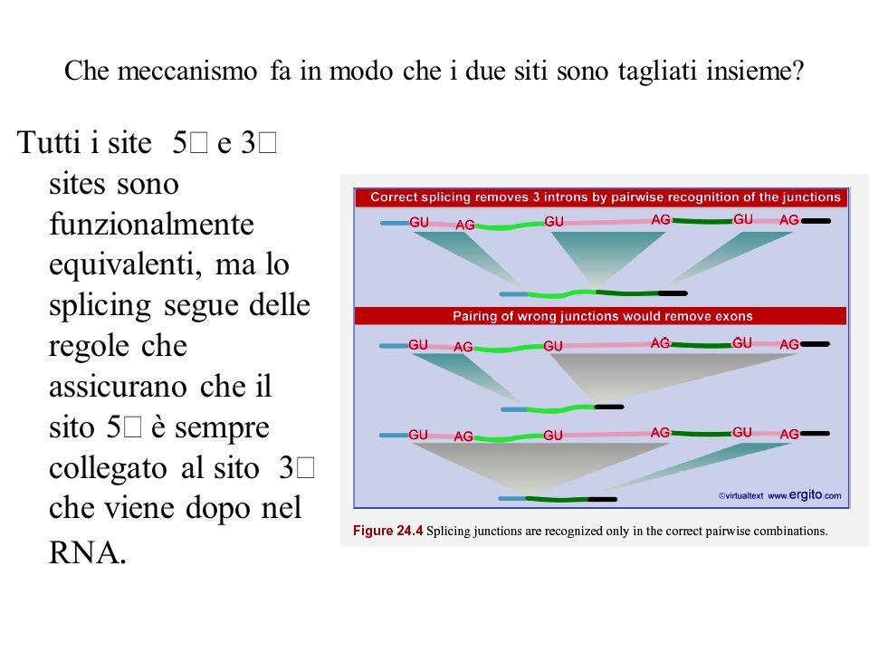 Che meccanismo fa in modo che i due siti sono tagliati insieme? Tutti i site 5 e 3 sites sono funzionalmente equivalenti, ma lo splicing segue delle r