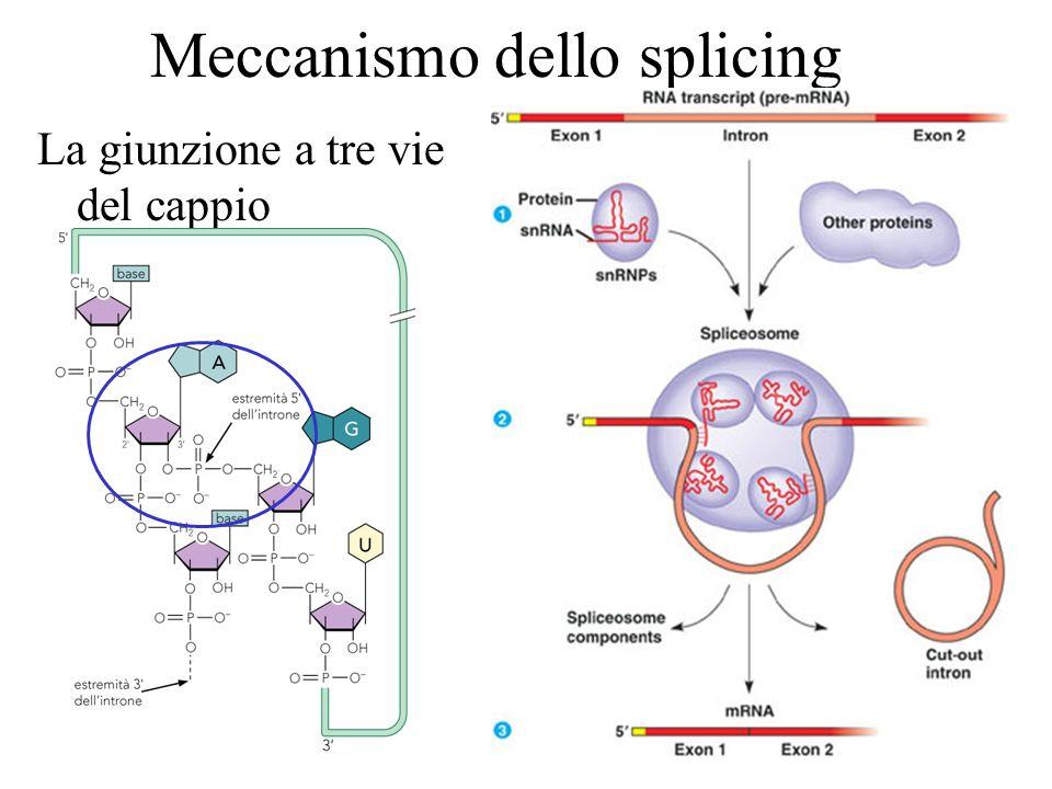 Meccanismo dello splicing La giunzione a tre vie del cappio