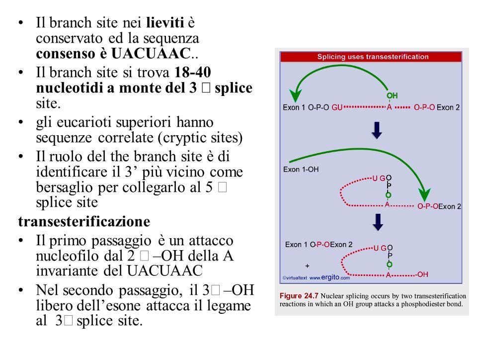 Il branch site nei lieviti è conservato ed la sequenza consenso è UACUAAC.. Il branch site si trova 18-40 nucleotidi a monte del 3 splice site. gli eu