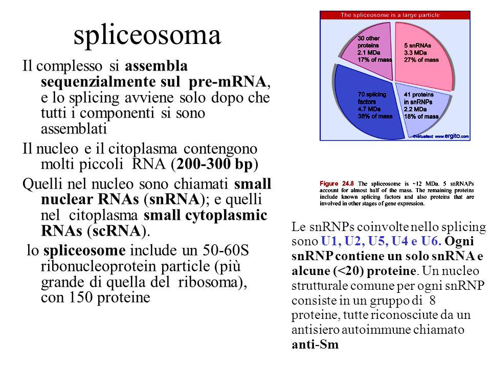 spliceosoma Il complesso si assembla sequenzialmente sul pre-mRNA, e lo splicing avviene solo dopo che tutti i componenti si sono assemblati Il nucleo