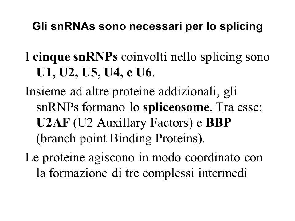 Gli snRNAs sono necessari per lo splicing I cinque snRNPs coinvolti nello splicing sono U1, U2, U5, U4, e U6. Insieme ad altre proteine addizionali, g