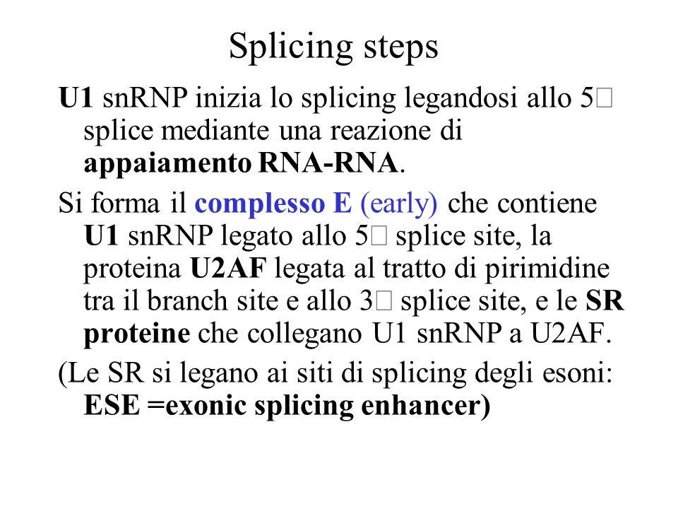 Splicing steps U1 snRNP inizia lo splicing legandosi allo 5 splice mediante una reazione di appaiamento RNA-RNA. Si forma il complesso E (early) che c