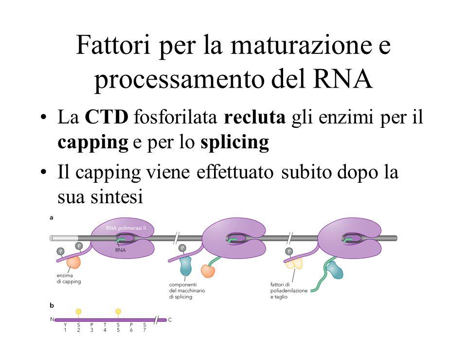 Fattori per la maturazione e processamento del RNA La CTD fosforilata recluta gli enzimi per il capping e per lo splicing Il capping viene effettuato