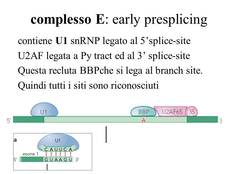complesso E: early presplicing contiene U1 snRNP legato al 5splice-site U2AF legata a Py tract ed al 3 splice-site Questa recluta BBPche si lega al br