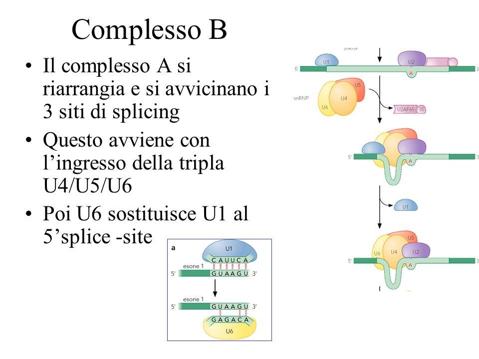 Complesso B Il complesso A si riarrangia e si avvicinano i 3 siti di splicing Questo avviene con lingresso della tripla U4/U5/U6 Poi U6 sostituisce U1