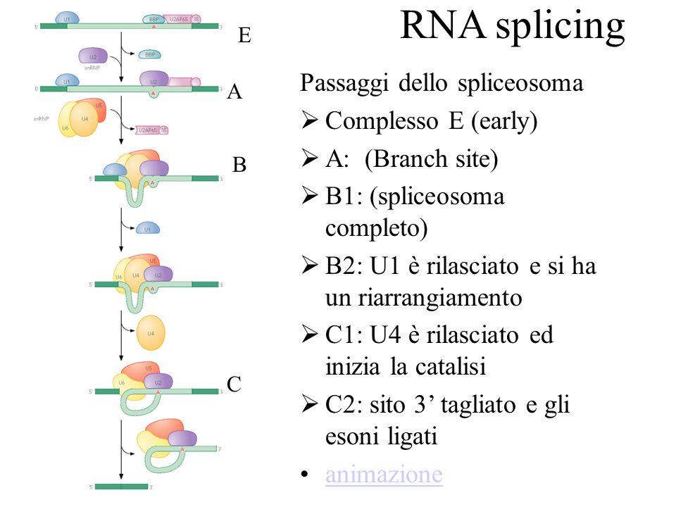 RNA splicing Passaggi dello spliceosoma Complesso E (early) A: (Branch site) B1: (spliceosoma completo) B2: U1 è rilasciato e si ha un riarrangiamento